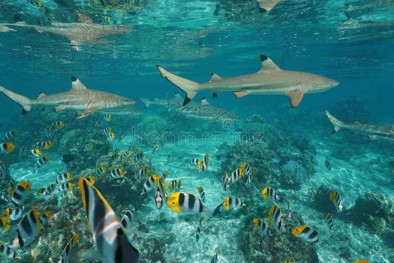 Squali con l'oceano Pacifico subacqueo del banco di pesci fotografia stock