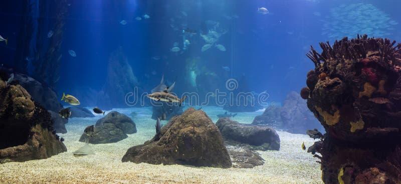 Squali di Blacktip e l'altro pesce tropicale nel loro ambiente oceanico fotografia stock