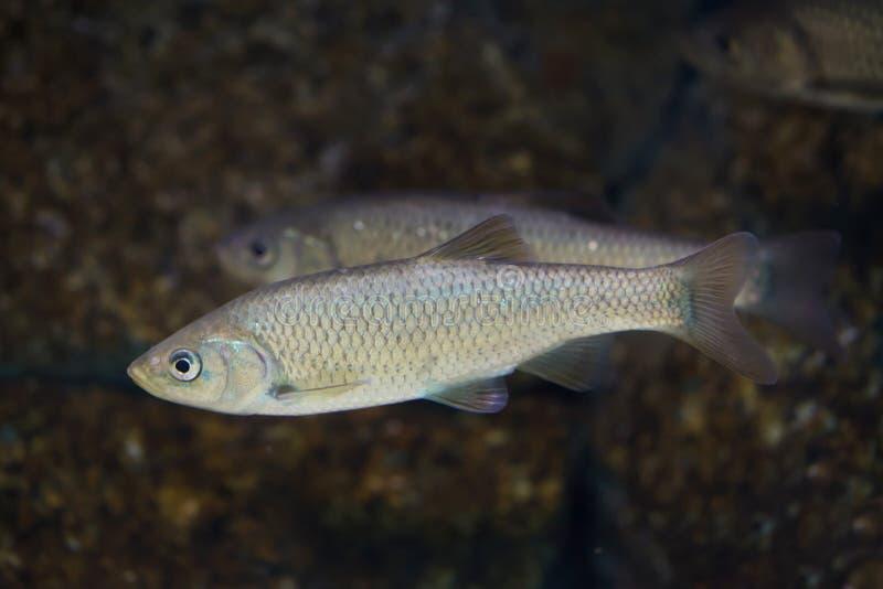 南部的利比亚淡水鳔形鱼Squalius pyrenaicus 库存图片