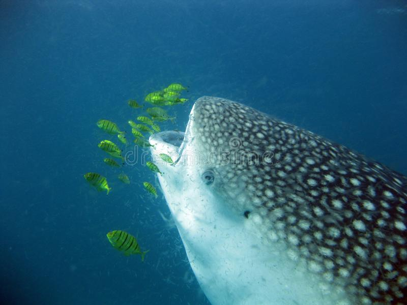 Squalo balena che mangia plancton fotografia stock