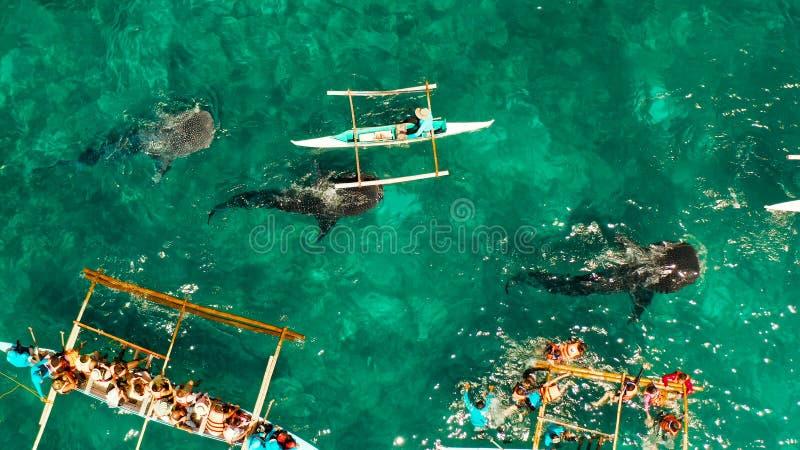 Squalo balena di Oslob che guarda in Filippine, isola di Cebu fotografia stock