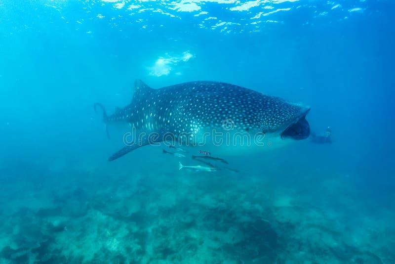 Squalo balena e bella scena subacquea con vita marina al sole nel mare blu Immergersi e scuba Maldive underwater fotografia stock