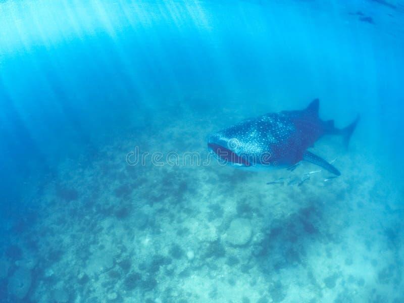Squalo balena e bella scena subacquea con vita marina al sole nel mare blu Immergersi e scuba Maldive underwater immagine stock