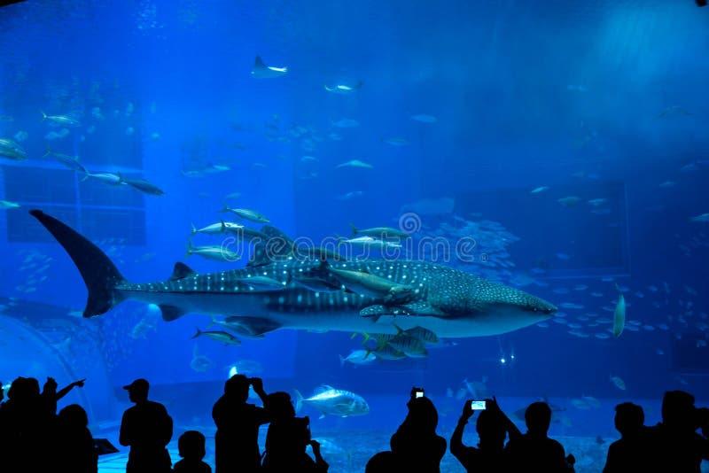 Squalo balena in Okinawa Churaumi Aquarium immagine stock