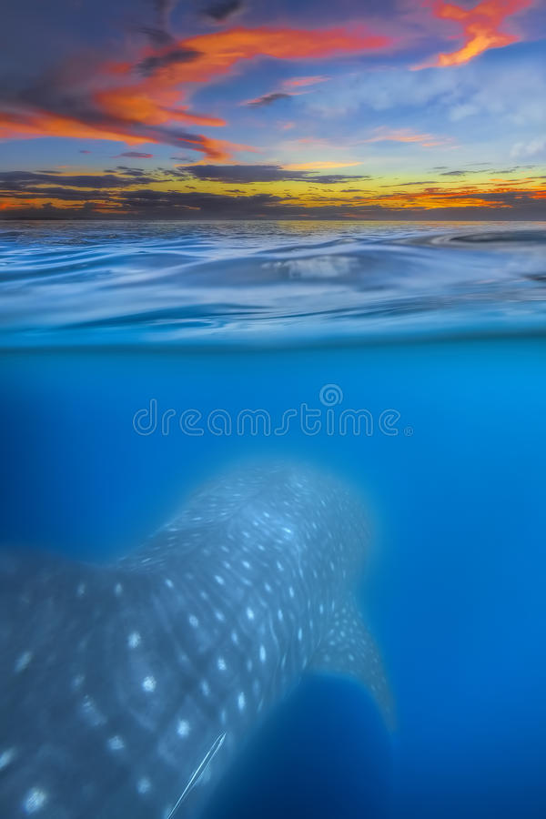 Squalo balena qui sotto fotografia stock