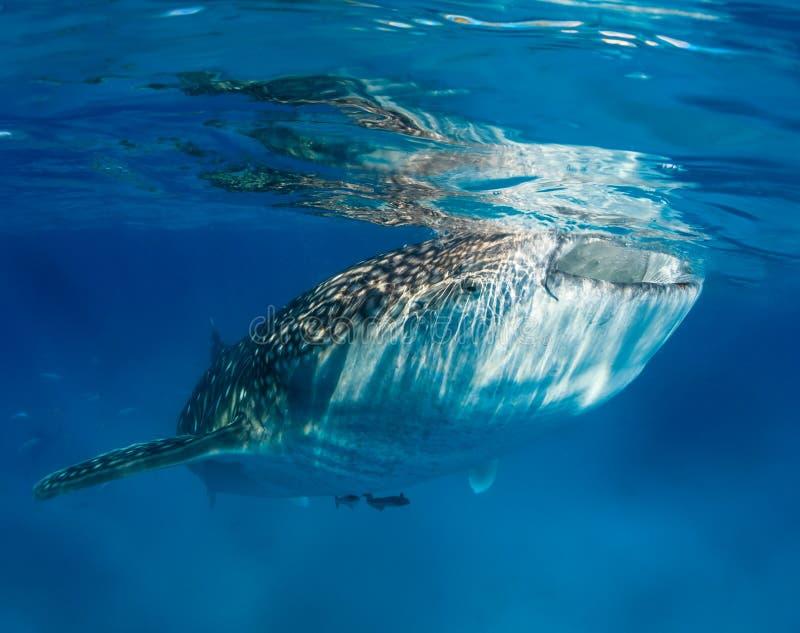 Squalo balena vicino alla superficie dell'oceano immagini stock libere da diritti