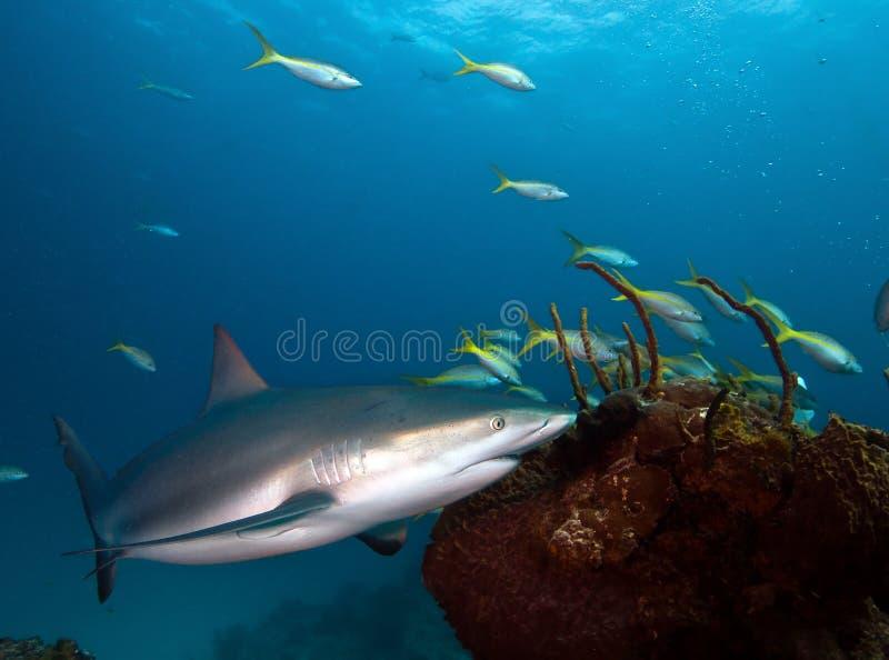 Squalo caraibico della scogliera fotografie stock