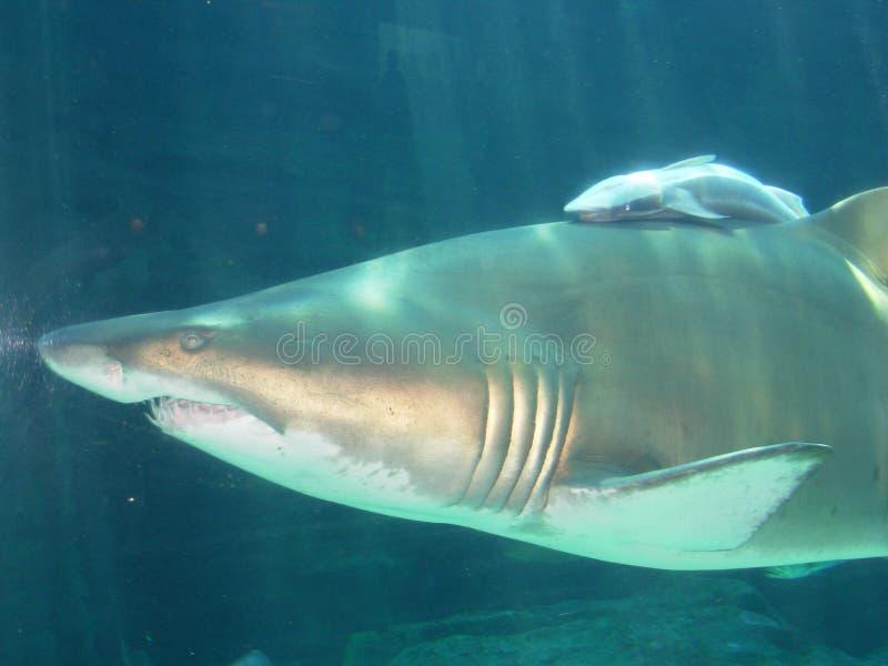 Squalo della madre e squalo del bambino, Sudafrica immagine stock