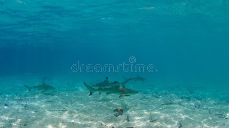 Squalo della scogliera di Blacktip, carcharhinus melanopterus Misool, Indonesia fotografie stock