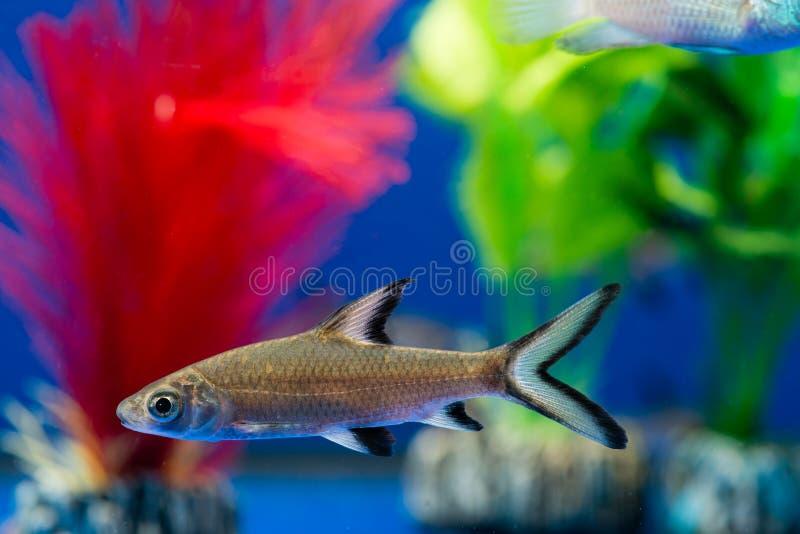 Squalo di Bala o squalo dell'argento immagine stock