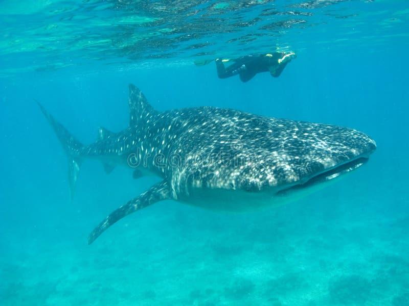 Squalo di balena