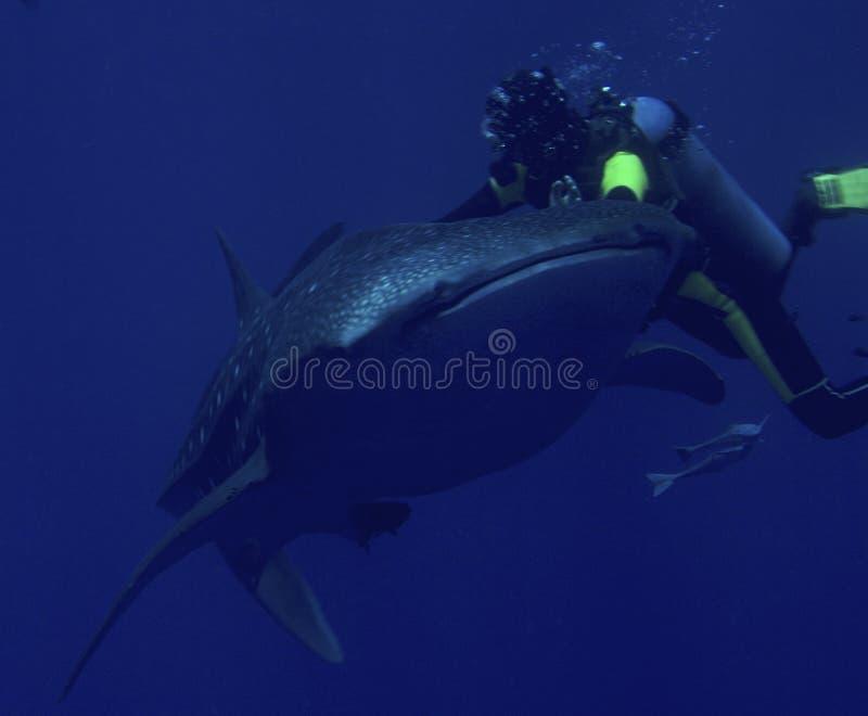 Squalo di balena e dell'operatore subacqueo immagine stock