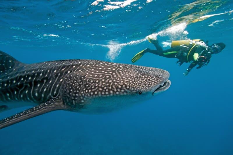 Squalo di balena e fotografo subacqueo fotografia stock libera da diritti