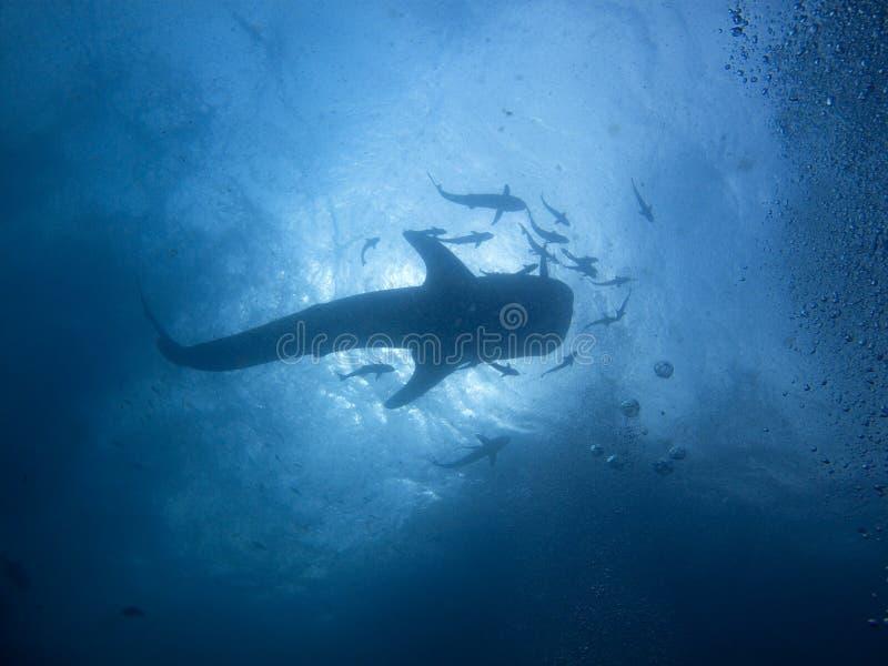 Squalo di balena - typus del Rhincodon fotografia stock libera da diritti