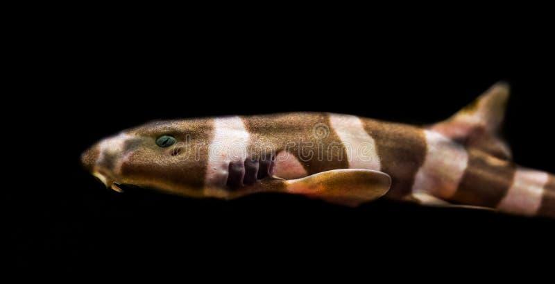 Squalo di bambù legato marrone giovanile isolato su un fondo nero, pesce tropicale dall'oceano Pacifico fotografia stock