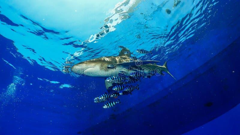 Squalo di whitetip oceanico fotografie stock