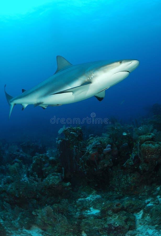 Squalo grigio caraibico della scogliera fotografia stock libera da diritti