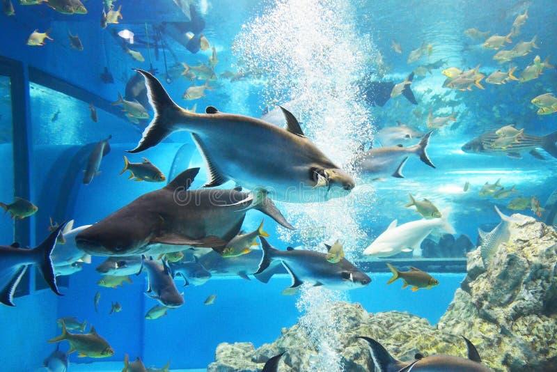 squalo iridescente, pesce gatto gigante di sutchi del Mekong immagini stock