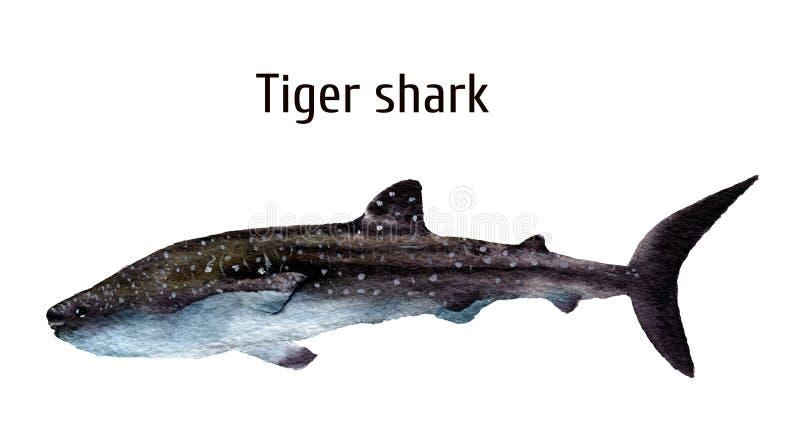 Squalo tigre del mare dell'acquerello Squalo di requiem isolato su fondo bianco Per progettazione, stampe, fondo, maglietta royalty illustrazione gratis