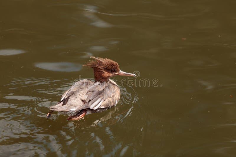 squamatus Écallieux-dégrossi de Mergus de canard de harle photos libres de droits