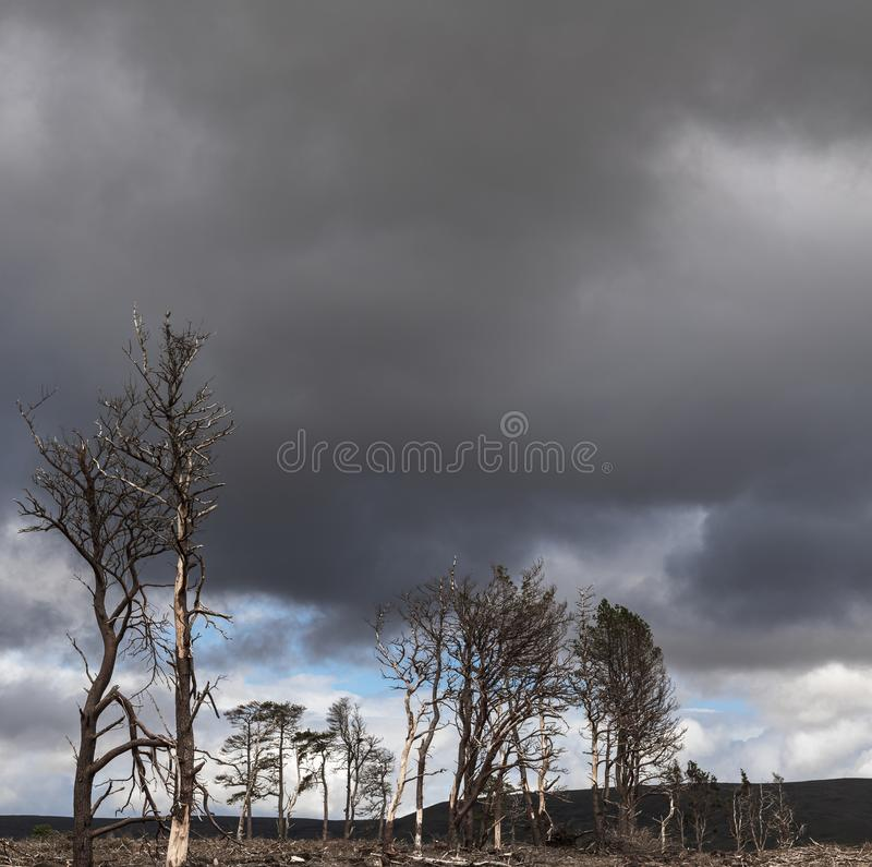 Square Betula pendula. A square image of the pale tree trunks of dead trees against a dark foreboding sky royalty free stock photos