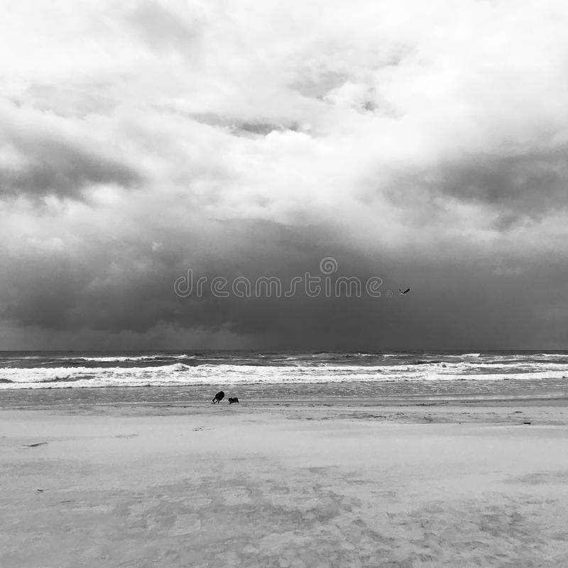 Black-and-white photo of two dogs playing with bird flying over on the beach royalty free stock photography