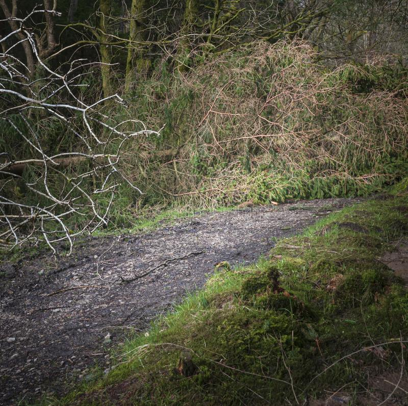 Square blocked. A square image of a fallen conifer tree obstructing a forestry footpath in Lancashire, England stock images
