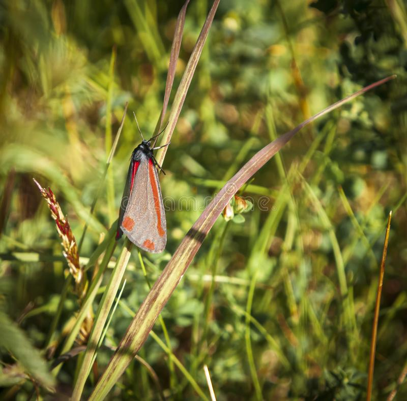 Square Cinnabar. A square format image of a Cinnabar moth, Tyria jacobaeae, resting on a grass stem in the summer sunshine royalty free stock photography
