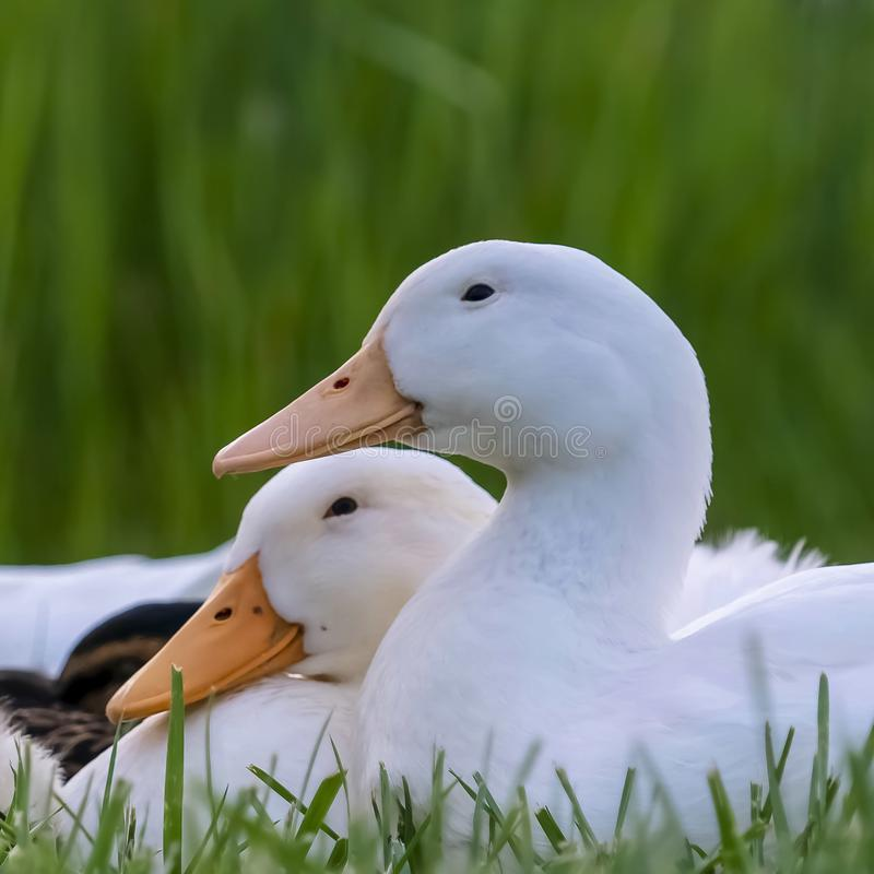 Square Close up of ducks sitting on a grassy terrain near a pond on a sunny day. The ducks have white feathers, yellow beak, and small black eyes royalty free stock photo