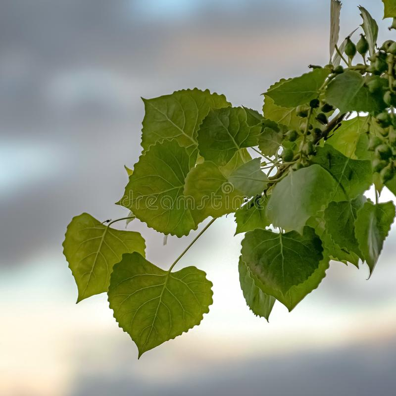 Square Close up of a plant with heart shaped leaves and small round green fruits. Blue sky with grasy clouds can be seen in the blurred background royalty free stock photos