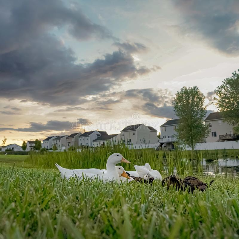 Square Ducks near a pond amid vast grassy terrain with white homes in the background. Over the scenic neighborhood is a sky filled with gray clouds stock photo