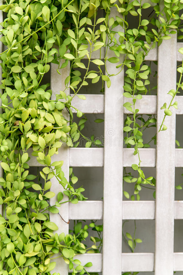 Square fence with creeping vines. Square trellis fence with vines creeping along it. Home and gardening design concept stock image