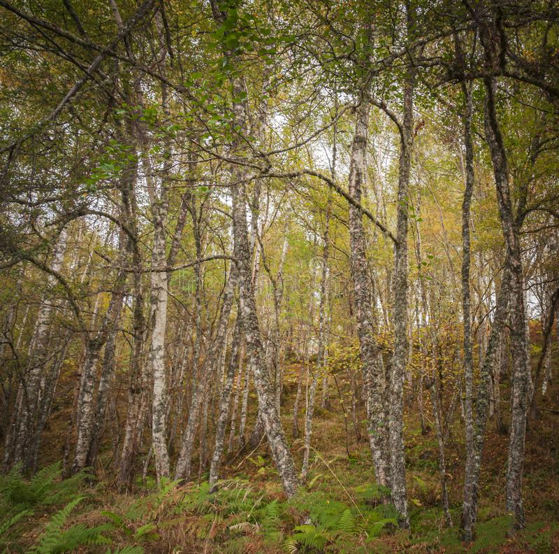 Square Silver birch. A square format close up image of autumnal Silver Birch, Betula pendula, trees royalty free stock photography
