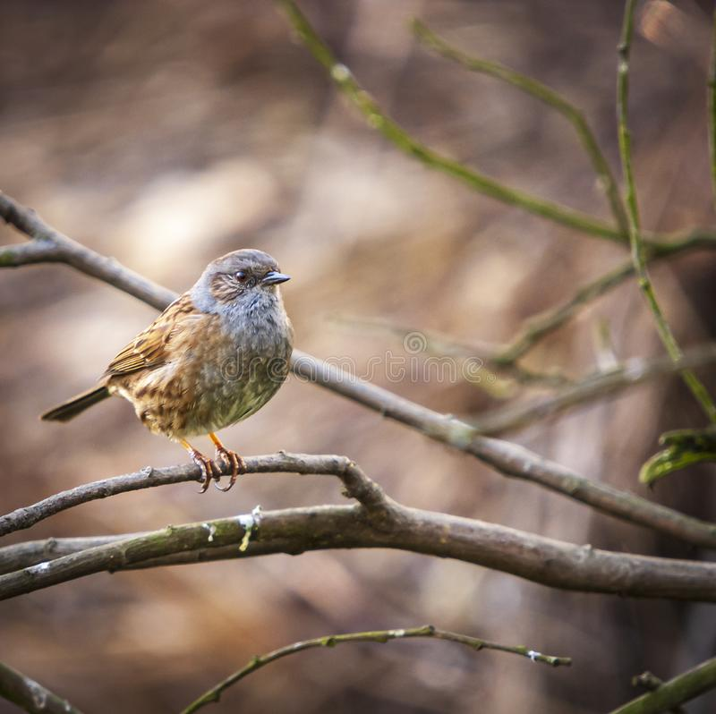Square Dunnock. A square format image of a Dunnock, Prunella modularis, perched on a tree branch in the spring sunshine royalty free stock image