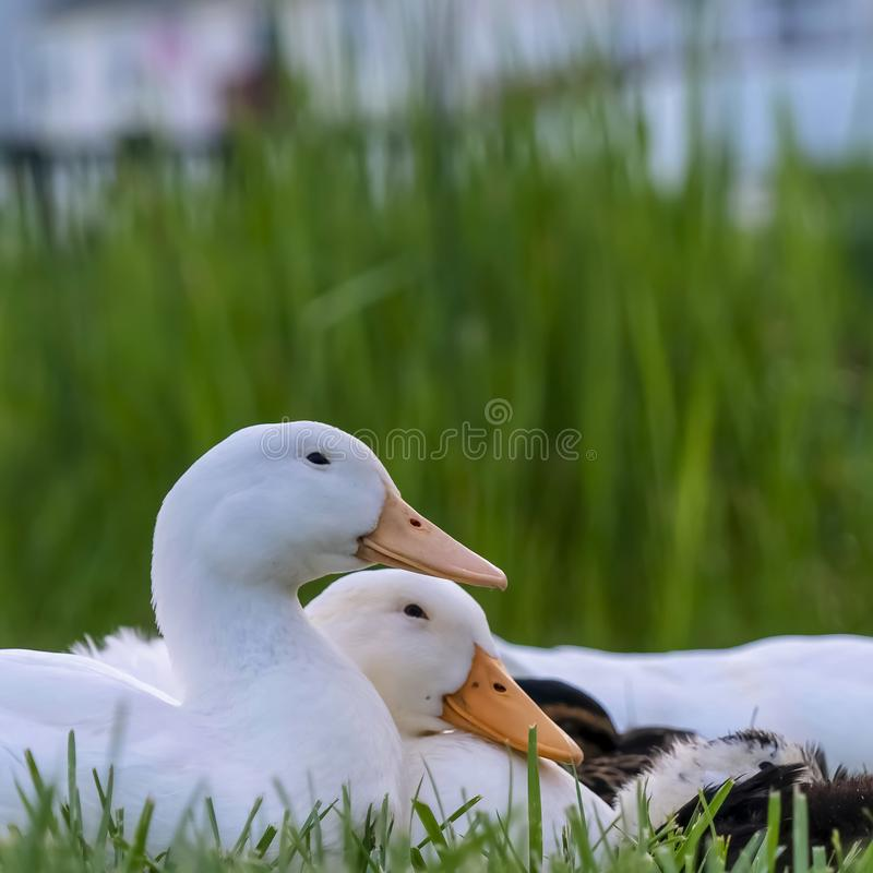 Square frame Close up of ducks sitting on a grassy terrain near a pond on a sunny day. The ducks have white feathers, yellow beak, and small black eyes royalty free stock photography