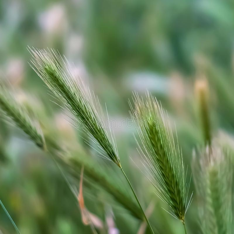 Square frame Close up view of green plants with slim stems topped with thin white spikes. The prolific grasses grows abundantly in the wilderness royalty free stock photography