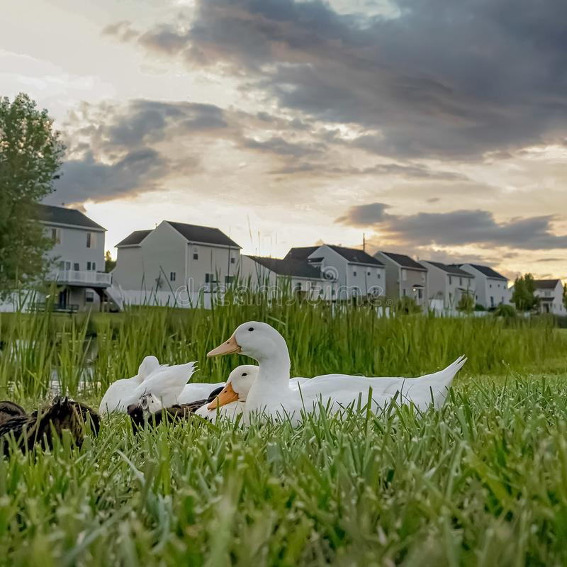 Square frame Ducks near a pond amid vast grassy terrain with white homes in the background. Over the scenic neighborhood is a sky filled with gray clouds stock images