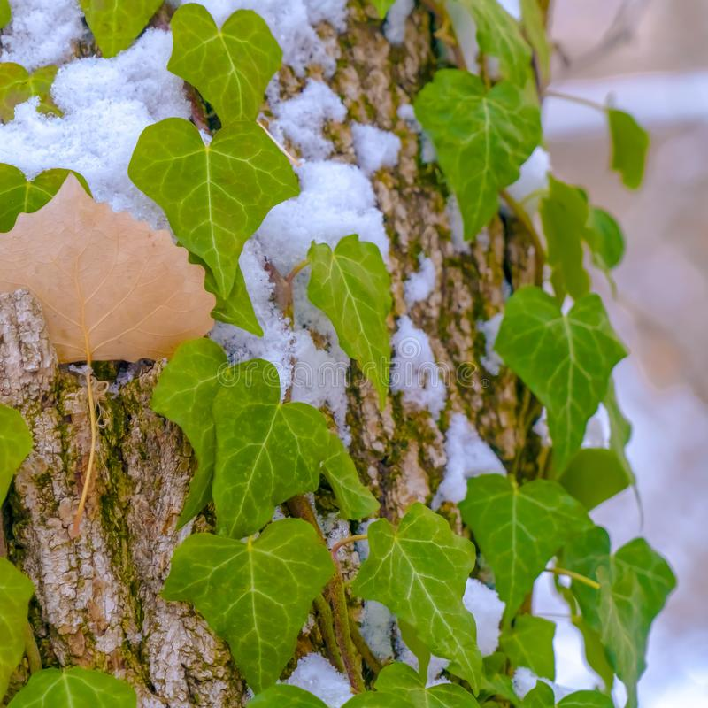 Square Heart shaped vines growing on the brown trunk of a tree with algae and snow. Nature scenery at a forest viewed on a sunny winter day royalty free stock images