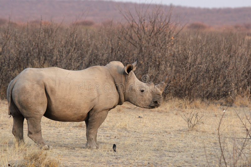 Download Square-lipped Rhinoceros Royalty Free Stock Images - Image: 7399619