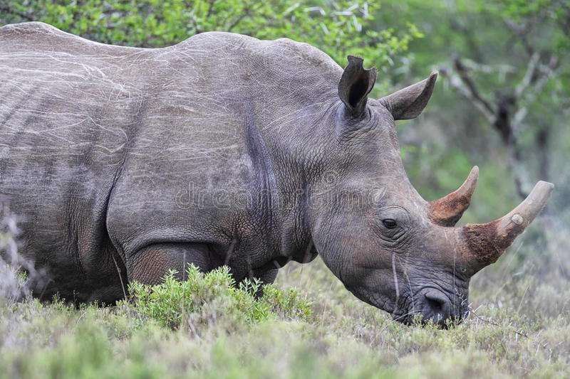 Square-lipped Rhinoceros (Ceratotherium simum). In the Amakhala Game Reserve, Eastern Cape, South Africa stock photo