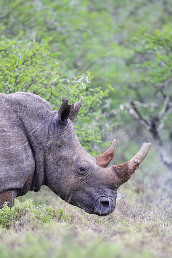 Square-lipped Rhinoceros (Ceratotherium simum). In the Amakhala Game Reserve, Eastern Cape, South Africa royalty free stock image