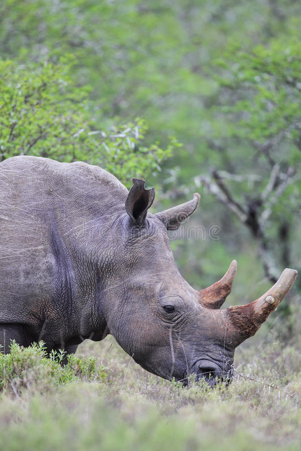 Square-lipped Rhinoceros (Ceratotherium simum). In the Amakhala Game Reserve, Eastern Cape, South Africa stock photos