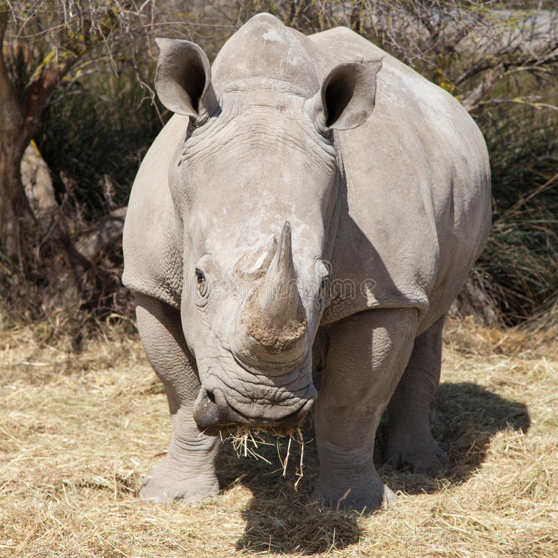 Square-lipped Rhinoceros. Frontal portrait of a Square-lipped Rhinoceros (Ceratotherium simum stock photos