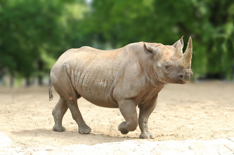 Square-lipped Rhinoceros. A Southern white square-lipped Rhinoceros stock photo