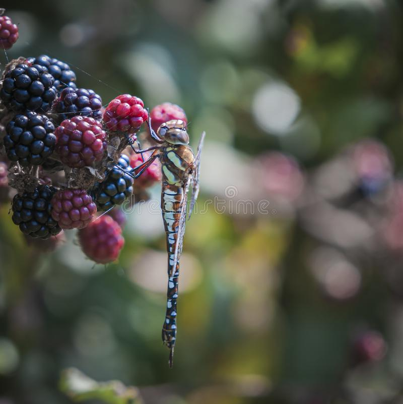 Square Migrant Hawker. A square image of a Migrant Hawker dragonfly, Aeshna mixta, hanging on Bramble, Rubus friticosus, Dungeness, Kent, England stock images