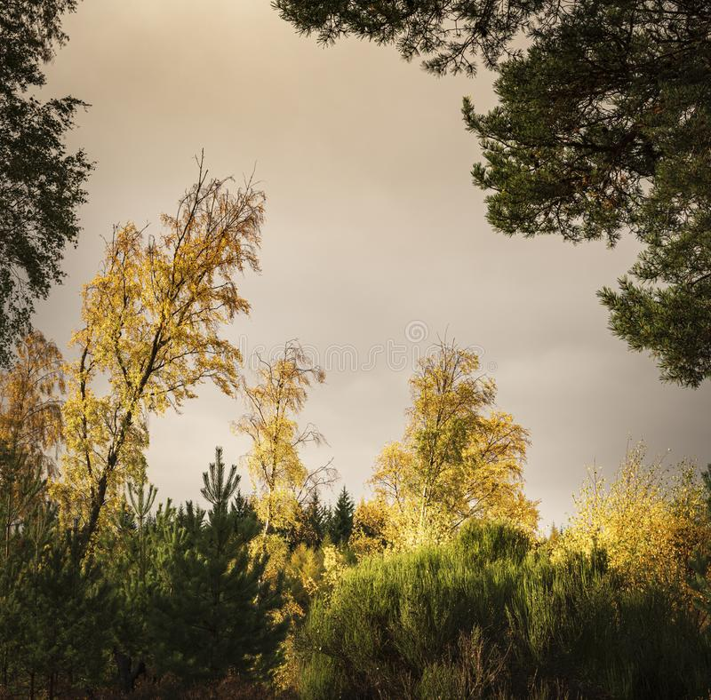 Square mixed woodland. A square format image of autumnal mixed woodland in Badenoch and Strathspey royalty free stock photo