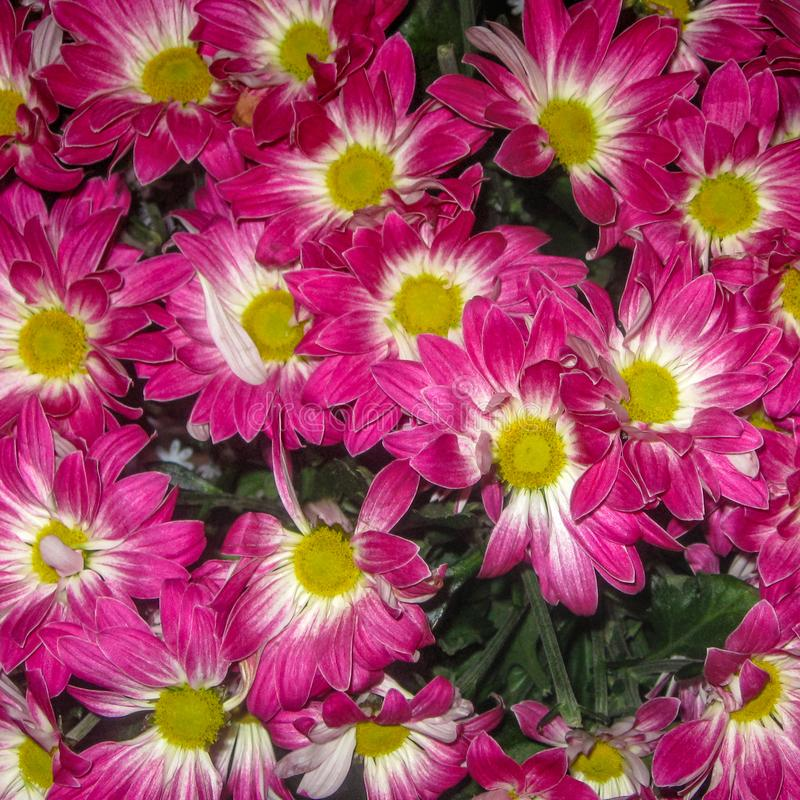 Large bouquet of purple white yellow chrysanthemums royalty free stock images
