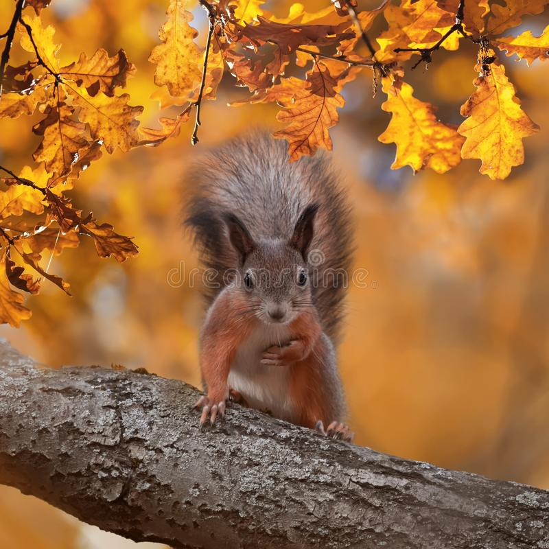 Square portrait with beautiful fluffy red squirrel sitting in autumn Park on a tree oak with bright Golden foliage. Portrait with beautiful fluffy red squirrel stock photos