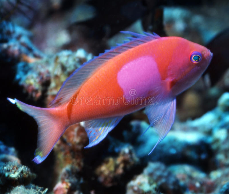 Square Spot Anthias - Papua New Guinea. A Square Spote Anthias pauses for moment to take a photographic pose at a reef in Papua New Guinea stock images