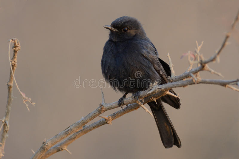 Square-Tailed Drongo (Dicrurus Ludwigii). This little black bird who is sitting on a perch i can photograph in South Africa stock images